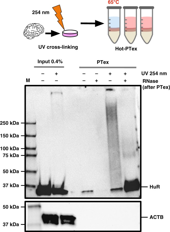 RNP purification from animal tissue. Mouse brain tissue was cryo-grinded and UV-irradiated before (Hot)-PTex was performed. Western blot against HuR (ELAVL1) demonstrates recovery of cross-linked HuR from mouse tissue while <t>beta-actin</t> (ACTB) is efficiently depleted. For full blots see Supplementary Figure 15