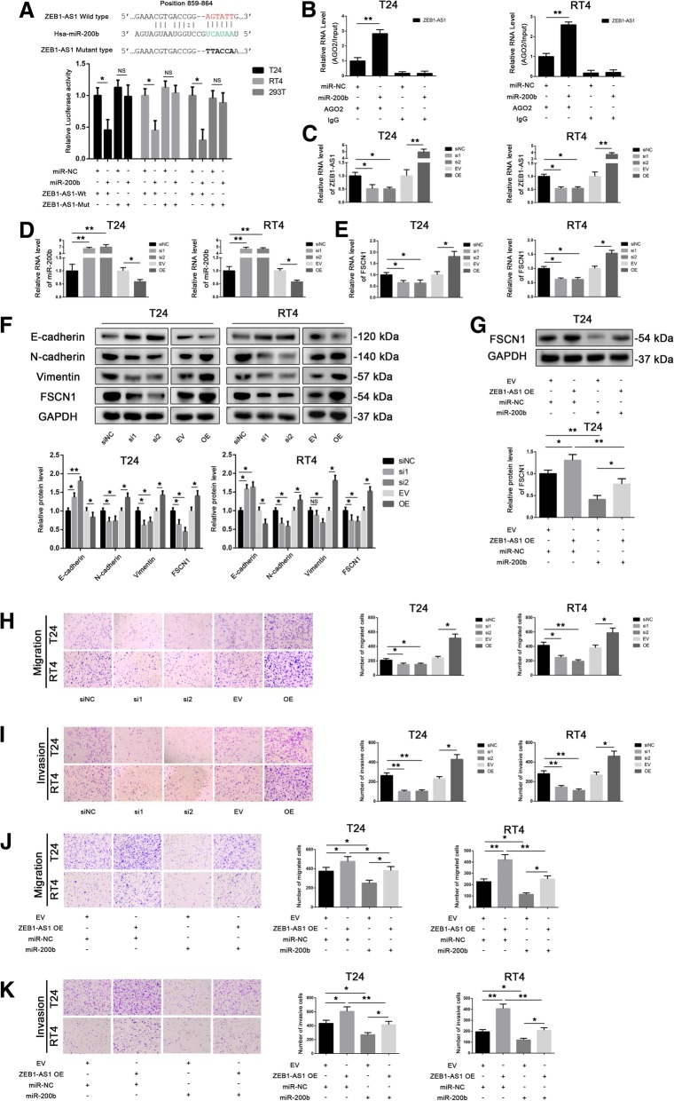 ZEB1-AS1 downregulates miR-200b , upregulates fascin-1 ( FSCN1 ), and promotes cell migration and invasion. a Luciferase assays were performed in T24, RT4, and 293 T cells co-transfected for 24 h with miR-negative control (NC) or miR-200b and a plasmid containing wild-type or mutant-type ZEB1-AS1 3′untranslated region (UTR) upstream the luciferase gene. Firefly luciferase activity of each sample was normalized by Renilla luciferase activity. Data were analyzed by T-test. b RNA-binding protein immunoprecipitation (RIP) assays with anti-AGO2 antibodies were performed in T24 and RT4 cells transiently transfected with miR-200b ; ZEB1-AS1 levels were detected by quantitative PCR (qPCR); 10% input was used as positive control and RIP with anti-IgG antibodies served as negative control. Glyceraldehyde 3-phosphate dehydrogenase ( GAPDH ) was used as the internal control. Data were analyzed by T-test. c Transfection efficiency of ZEB1-AS1 knockdown (si1, si2) and overexpression (OE) in T24 and RT4 cells was detected by qPCR. Data were analyzed by T-test. d and e The levels of miR-200b ( d ) and FSCN1 ( e ) were measured by qPCR after ZEB1-AS1 knocked down or overexpressed in T24 and RT4 cells. Data were analyzed by T-test. f E-cadherin, N-cadherin, vimentin, and FSCN1 protein expression in T24 and RT4 cells in which ZEB1-AS1 had been knocked down or overexpressed. Data were analyzed by T-test. ( g ) FSCN1 levels in T24 cells co-transfected with miR-NC or miR-200b and with an empty vector (EV) or a plasmid overexpressing ZEB1-AS1 . Data were analyzed by T-test. h and i Transwell assays (without or with Matrigel) to detect cell migration ( h ) and invasion ( i ) of T24 and RT4 after ZEB1-AS1 silencing or overexpression. j and k Transwell assays (without or with Matrigel) to detect cell migration ( j ) and invasion ( k ) of T24 and RT4 co-transfected with miR-NC or miR-200b and with an EV or a plasmid overexpressing ZEB1-AS1 . Data were analyzed by T-test. Data are presented as the mean ± standard deviation (SD). * P