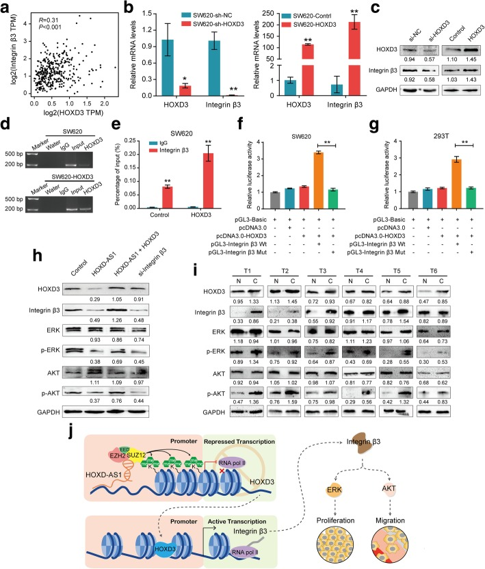 HOXD3 mediates Integrin β3 expression by activating Integrin β3 transcription. a A positive correlation between HOXD3 and Integrin β3 expression was found in the TCGA cohort. b – c The expression of both integrin β3 b mRNA and c protein was significantly up-regulated after HOXD3 ectopic overexpression in SW620 cells, while the expression of integrin β3 was reduced when HOXD3 knockdown was mediated by a siRNA. d ChIP assays were performed in HOXD-AS1 overexpressed(SW620-HOXD-AS1)and control cells using anti-HOXD3- antibodies or IgG antibodies, respectively. e The enrichments of HOXD3 of the region upstream of the Integrin β3 gene were examined by real-time PCR. f - g Dual-luciferase report showed that HOXD3 activated Integrin β3 transcription both in f SW620 and g 293 T cells. h Western blot was performed to detect HOXD3, Integrin β3, ERK, p-ERK, AKT and p-AKT expression in SW620-HOXD-AS1, SW620-HOXD-AS1 + HOXD3, SW620-si-Integrin β3 and control cells. i Western blot was performed to detect HOXD3, Integrin β3, ERK, p-ERK, AKT and p-AKT expression in paired CRC tissues and adjacent non-cancerous tissues. j A proposed model for illustrating the function and mechanism of HOXD-AS1 in CRC growth and metastasis . For b, e, f and g, data were expressed as means ± SD in three independent experiments. * P