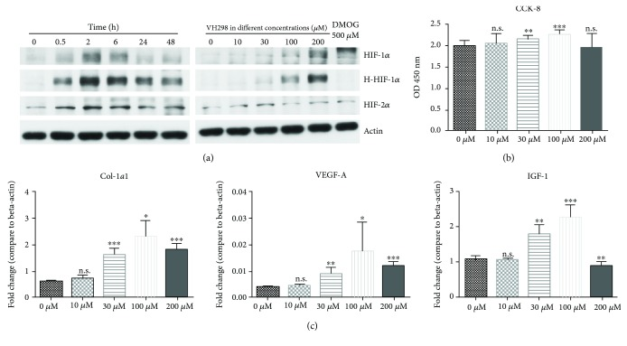 Protein concentration of HIF-1 α , HIF-2 α , and hydroxy-HIF-1 α , cell proliferation, and multiple gene expressions were related to the VH298 dose. (a) After VH298 or DMOG treatment, protein levels in rFb were detected by immunoblots. Protein concentration of HIF-1 α , HIF-2 α , and hydroxy-HIF-1 α in rFb increased gradually along with VH298 concentration, and DMOG only upregulated protein levels of HIF-1 α and HIF-2 α , but not hydroxy-HIF-1 α , after 6 h treatment. 200 μ M VH298 increased the HIF-1 α , HIF-2 α , and hydroxy-HIF-1 α protein levels up to 2 h and was followed by a decrease. (b) Cell viability of rFb was evaluated by the CCK-8 assay. VH298 promoted cell proliferation at doses of 30 μ M and 100 μ M. Graphs represent mean ± SD (VH298-treated vs. control) ( n = 12). (c) Col1-α1 , VEGF-A , and IGF-1 gene expressions in rFb were detected by quantitative real-time PCR after treatment with VH298 at different doses, and 30 μ M and 100 μ M were the most stable doses for upregulation of gene expression. Graphs represent mean ± SD (VH298-treated vs. control) ( n = 6). ∗ P