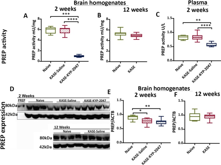 Prolyl oligopeptidase ( PREP ) specific activity decreased but the expression of PREP remained the same in KYP ‐2047‐treated KASE rats when compared to saline‐treated KASE rats. PREP activity measured in brain lysates at (A) 2‐week and (B) 12‐week time points using the substrate Z‐Gly‐Pro‐ pNA . C, PREP activity measured in plasma using the fluorogenic substrate Z‐Gly‐Pro‐ AMC after 2 weeks of KYP ‐2047 administration. D, Representative western blot of PREP in brain lysates at 2 and 12 weeks after KASE induction. Beta‐actin ( ACTB ) was used as a loading control. Quantification of PREP expression in brain lysates at (E) 2 weeks and (F) 12 weeks after KASE induction. Data are represented as median ± interquartile ranges (* P
