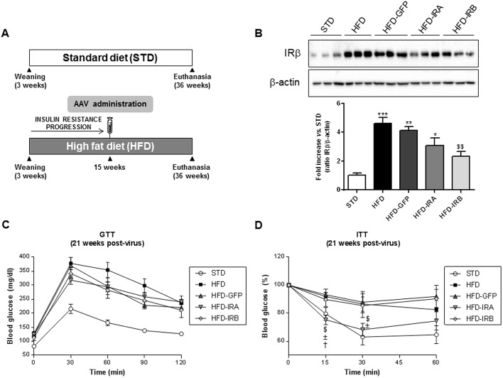 Hepatic IRA expression ameliorates insulin tolerance. (A) Scheme of diet and AAV administration. The mouse groups were established as follows: STD ( n =5), HFD ( n =9), HFD-GFP ( n =6), HFD-IRA ( n =8) and HFD-IRB ( n =7). (B) Western blot analysis of IR in liver homogenates from the five groups studied (top). β-actin was used as a loading control. Histogram showing the <t>IRβ/β-actin</t> ratio quantification of band intensities (bottom). (C) GTT in STD ( n =5), HFD ( n =9), HFD-GFP ( n =9), HFD-IRA ( n =9) and HFD-IRB ( n =9) animals at 21 weeks after AAV administration. (D) ITT in STD ( n =5), HFD ( n =9), HFD-GFP ( n =9), HFD-IRA ( n =9) and HFD-IRB ( n =9) animals at 21 weeks after AAV administration. Results are expressed as mean±s.e.m. Statistical significance was assessed by one-way ANOVA with Bonferroni post test in B, and two-tailed unpaired Student's t -test in C and D [versus STD mice (* P