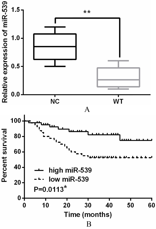 Downregulation of miR-539 was identified in WT tissues.(A) The expressions of miR-539 in WT tissues detected via qRT-PCR. (B) Low miR-539 expression was correlated with shorter overall survival of WT patients. * P