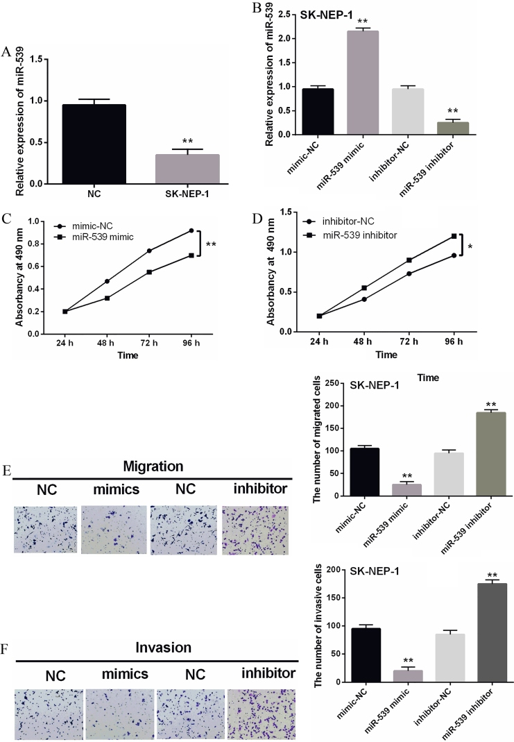 Overexpression of miR-539 suppressed the proliferation, migration and invasion of WT cells. (A) The miR-539 expression in SK-NEP-1 cell lines. (B) The miR-539 expressions were examined in SK-NEP-1 cells containing miR-539 mimics or inhibitor via qRT-PCR. (C, D) The cell proliferation was measured in cells containing miR-539 mimics or inhibitor via MTT assay. (E, F) Cell migration and invasion analysis in SK-NEP-1 cells containing miR-539 mimics or inhibitor was examined by Transwell assay. * P