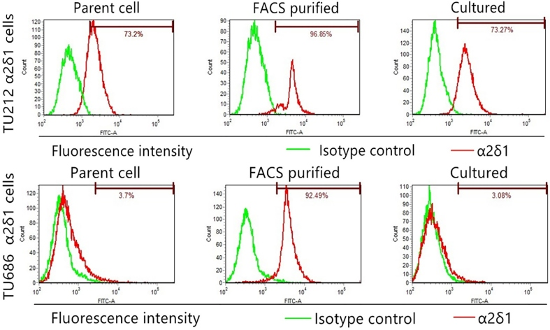 Differentiation properties of α 2 δ 1 + TU212 and TU686 cells. Flow cytometry shows the percentage of α 2 δ 1 + cells in TU212 and TU686 cells, FACS-purified α 2 δ 1 + cells and purified α 2 δ 1 + cells cultured in 10% serum-containing medium for 1 week (cultured).