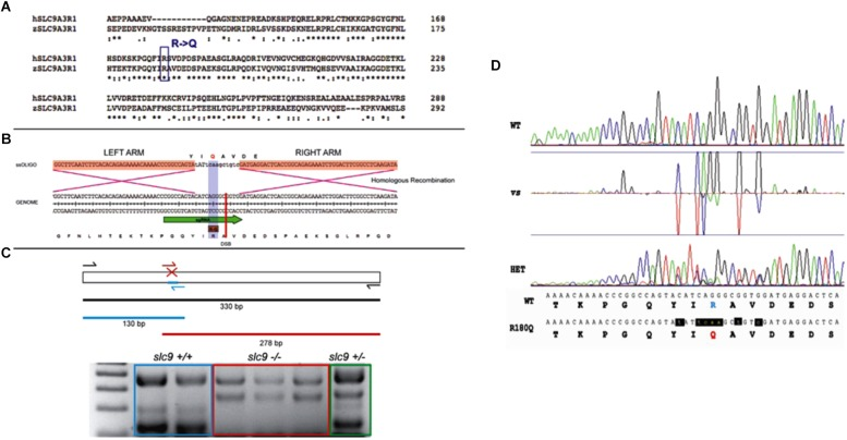 CRISPR-Cas9 strategy for the generation of the R180Q- slc9a3r1 K/I model. (A) Comparison of human and zebrafish SLC9A3R1 amino acid sequence. Purple rectangle outlines R180 conservation among human and zebrafish. (B) Scheme displaying the nucleotide and amino acid translated sequence present at the target genome (below) and the ssOligo (above) used for modifying the target sequence. Below, green arrow in genome sequence outlines the sgRNA site. Above, red squares in ssOligo outline homologous recombination right and left arms. (C) Scheme displaying the PCR strategy used to identify potential mutants. (D) Example of R180Q-Slc9a3r1 mutant identified through the comparison of Sanger sequences obtained from a wild type (above) and a heterozygous individual (below). Both sequences display nucleotide and translated amino acid sequence. Above, targeted amino acid R180 is displayed in green. Below, modified amin oacid Q180 is displayed in red and modified nucleotides are displayed in red and lower case.