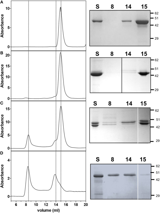 <t>Size</t> <t>exclusion</t> <t>chromatography</t> and SDS-PAGE analyses on AbHemL, HemA-HemL complex and AbHemA. Elution profiles of Ab HemL (A) , fractions from Ab HemA-HemL complex corresponding to lane 2 of Figure 2B and lane 3 from Figure 2C and Ab HemA (D) . Rigth panels are the SDS-PAGE of the same samples analyzed on SEC (S) and fractions from SEC at 8, 14, and 15 ml elution volume. In right panel (B) , the black line indicates that the image was assembled from two different gels. White lines on right panels (C,D) separate different parts of the same <t>gel</t> that were combined, excluding lanes which were not of interest. Original gels from which panels were assembled are shown in the Supplementary Materials .
