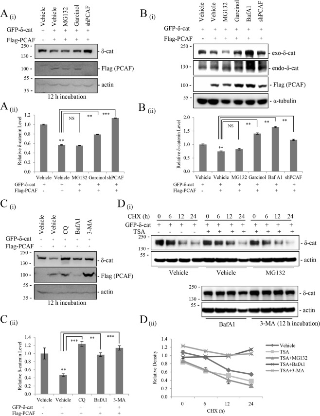 PCAF-mediated δ-catenin acetylation promotes autophagic degradation of δ-catenin. ( A , B ) The acetyltransferase activity of PCAF is required for the downregulation of δ-catenin. However, proteasome inhibition does not suppress the effect of PCAF on downregulating δ -catenin. HEK293Tcells transfected with GFP-δ-catenin and Flag-PCAF ( A ) and Rv/δ cells transfected with Flag-PCAF ( B ) were treated with the proteasome inhibitor MG132 (10 μM) or the histone acetyltransferase inhibitor Garcinol (5 µM) or Baf A1 (100 nM) or transfected with shPCAF and incubated for 12 h, and then cell lysates were subjected to immunoblotting. ( C ) Autophagy inhibitors attenuate PCAF-mediated δ-catenin degradation. HEK293T cells were transfected with the indicated plasmids. At 12 h post-transfection, cells were treated with the autophagy inhibitors chloroquine (CQ, 100 μM), bafilomycin A1 (BafA1, 100 nM), or 3-methyladenine (3-MA, 5 mM), and cell lysates were subjected to immunoblotting. ( D ) Autophagy inhibitors increase the stability of δ-catenin. HEK293T cells transfected with δ-catenin and treated with 0.2 µM TSA were treated with MG132 (10 μM) or Baf A1 (100 nM) or 3-MA (5 mM) and incubated for 12 h, and then treated with cycloheximide (CHX, 20 ng/ml) for indicated time (h), and then cell lysates were subjected to immunoblotting. α-Tubulin or <t>ß-actin</t> was used as a loading control. Relative δ-catenin/actin ratios from at least three independent experiments are shown as a bar graph in each panel (ii). Values are presented as the mean ± SEM. **p