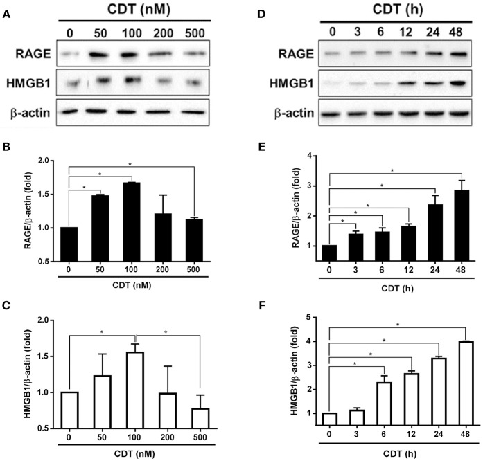 CDT induces RAGE and HMGB1 expression. (A) AGS cells were exposed to CDT for 24 h at various concentrations (0–500 nM), and (B) treated with 100 nM CDT at different time points (0–48 h). Total cell lysates were prepared to measure the expression of RAGE and HMGB1 by western blotting, and β-actin was used as the protein loading control. Protein expression levels of RAGE and HMGB1 were quantified by densitometric analysis and normalized to β-actin, respectively (B–F) . The data are presented as means ± standard deviations for three independent experiments. Statistical analysis was calculated using ANOVA analysis and Tukey's test. * P