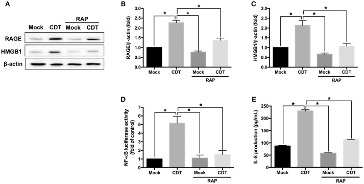 RAGE blockage reduces CDT-mediated inflammatory responses. (A) AGS cells were pretreated with RAGE antagonist (2 μM RAP) for 2 h before incubation with 100 nM CDT for 24 h. Cell lysates were analyzed by western blotting with the antibodies against RAGE, <t>HMGB1,</t> and β-actin, respectively. The protein expression of RAGE (B) and HMGB1 (C) was quantified by densitometric analysis and normalized to β-actin. (D) Cells were co-transfected with NF- κ B - and pGL3-luciferase reporters prior to treatment with the 2 μM RAP followed by exposure to 100 nM CDT for 24 h. pGL3-luciferase reporter was used for monitoring transfection efficiency. NF- κ B promoter activity was determined and normalized by pGL3 luciferase activity. (E) The cell culture supernatant was prepared to evaluate IL-8 production using ELISA. The data are presented as means ± standard deviations for three independent experiments. Statistical analysis was calculated using ANOVA analysis and Tukey's test. * P