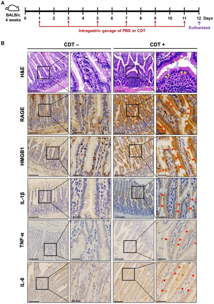 CDT induces RAGE expression and proinflammatory cytokine production in the mouse small intestine. (A) Mice were treated with PBS or CDT (2.5 mg/kg) by intragastric gavage once every 2 days for six administrations. Arrows in red indicated the days of CDT administration. (B) Tissue sections of the jejunum were prepared and fixed in 4% paraformaldehyde and subjected to hematoxylin-eosin (H E) or immunohistochemical (IHC) staining with antibodies against RAGE, HMGB1, IL-1β, TNF-α, and IL-6, respectively. The magnified images are shown in the right panel of each cropped area. Arrows in yellow represented severe infiltration of inflammatory cells in the intestinal epithelium with pathological derangement. Pronounced expression of proinflammatory cytokines shown in intestinal tissues were indicated by red arrows. Scale bars in left panels, 20 μm and in magnified right panels, 200 μm.