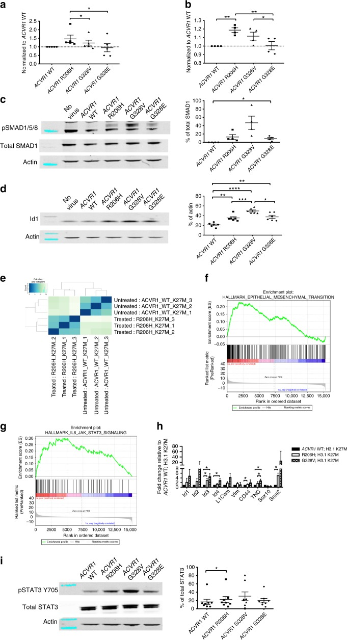 ACVR1 mutations have differential effects on proliferation and survival. a – d Brainstem progenitor cells isolated from p3 Ntv-a;p53 fl/fl mice were cultured in vitro as neurospheres and infected with ACVR1 WT, ACVR1 R206H, ACVR1 G328V, or ACVR1 G328E virus. a Proliferation of infected neurospheres ( n = 5). b Cell viability of infected neurospheres ( n = 4). c , d pSMAD1/5/8 ( c ) ( n = 4) and Id1 ( d ) ( n = 6) protein expression in infected neurospheres. Also see Supplementary Figure 1 . e – h Brainstem progenitor cells isolated from p3 Ntv-a;p53 fl/fl mice were cultured in vitro as neurospheres and infected with ACVR1 WT or R206H virus in the presence of H3.1K27M virus. e Heat map of differentially expressed genes between ACVR1 WT and H3.1K27M infected neurospheres compared to ACVR1 R206H and H3.1K27M infected neurospheres based on p value identified by RNA-Seq analysis. Also see Supplementary Data 1 . f GSEA enrichment plot of epithelial to mesenchymal transition genes identified by RNA-Seq analysis from ( e ). Also see Supplementary Data 2 . g GSEA enrichment plot of IL-6_JAK_STAT3 signaling genes identified by RNA-Seq analysis from ( e ). Also see Supplementary Data 2 . h qRT-PCR validation of select genes from neurospheres infected with ACVR1 WT, ACVR1 R206H, or ACVR1 G328V and H3.1K27M virus ( n = 3). i pSTAT3 Y705 protein expression in infected neurospheres as described in ( a ) ( n = 8). Also see Supplementary Figure 1 . All data are represented as mean with SEM, * p