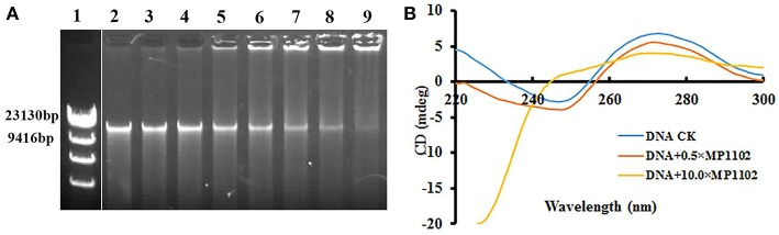 In vitro binding of MP1102 to the S. suis strain CVCC 3928 genomic DNA. (A) Gel retardation analysis of the binding of MP1102 to genomic DNA. Line 1: DNA maker λ DNA/ Hind III; Lines 2–9: the mass ratios of MP1102 and genomic DNA were 0, 0.5, 1.0, 2.0, 4.0, 6.0, 8.0, and 10.0, respectively. (B) CD spectra analysis of genomic DNA. The mass ratios of MP1102 and genomic DNA were 0, 0.5, and 10.0, respectively.
