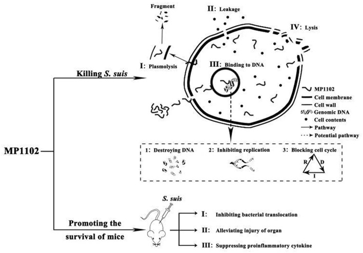 Mode of actions of MP1102 against S. suis in vitro and its action effects on mice challenged with S. suis . In vitro mechanism of MP1102 against S. suis is spatiotemporal. First, the cell membrane of the pathogen was slightly destroyed by MP1102, and the latter penetrated cell membrane and bound to genomic DNA of S. suis , resulting in DNA destruction, inhibition of DNA replication and cell cycle interference. As a result, severe damage of the membrane occurred, causing leakage of cell contents and cell lysis as an irreversibly comprehensive cyto-event. At the same time, in vivo mechanism of MP1102-protected mice challenged with S. suis could be accordingly deduced as inhibition of bacterial translocation, suppression of proinflammatory cytokines and alleviation of organ injury. These events ultimately contributed to improvement of mouse survival.