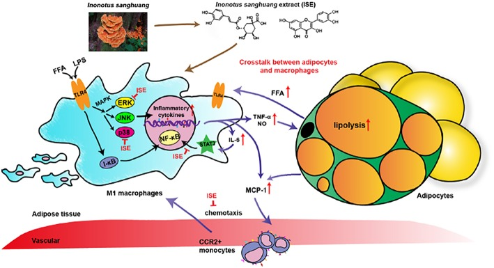 Schematic models of molecular targets affected by ISE to attenuate inflammatory signaling pathways. On the one hand, LPS- and free fatty acid (FFA)-induced inflammatory responses are regulated by both NF-κB and MAPK signaling pathways. In activated macrophages, ISE decreases pro-inflammatory cytokine production via inhibiting the ERK and p38 MAPK pathways, not NF-κB signals. On the other hand, ISE markedly suppresses the phosphorylation of STAT3 to reduce cytokines transcription. Subsequently, the lipolysis of adipocytes is suppressed and proinflammatory M1 macrophages are less recruited via the MCP-1-CCR2 pathway. And the decrease of inflammatory cytokine IL-6 further restrains the IL-6/STAT3 activation and the inflammatory mediator production. In a word, treatment with ISE reduces the levels of these pro-inflammatory mediators, thereby disrupting the crosstalk between macrophages and adipocytes in a coculture. ISE apparently exerted anti-inflammatory ability, possibly diminishing the obesity-induced inflammatory diseases.