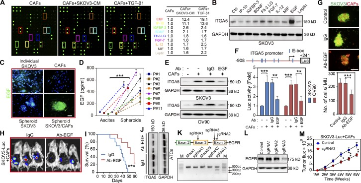 CAF-dependent EGF secretion is required for ATC ITGA5 expression in MUs. (A) Cytokine profile from control CAFs (#1), and from CAFs primed either with SKOV3 CM or with TGF-β1 (100 ng ml –1 ) for 48 h. The shared cytokines elevated in CAFs treated with CM or TGF-β1 are listed. (B) Western blot analysis of ITGA5 in SKOV3 cells treated with variant cytokines for 48 h. (C) Representative immunofluorescence images of EGF in SKOV3 and CAFs (#8 and 9) in adherent culture, in SKOV3 homospheroids, and in MUs formed by SKOV3 and CAFs. Bar, 50 µm. (D) EGF secretion in the MU microenvironment and in the corresponding ascites macroenvironment of eight HGSOC patients was assessed by ELISA. (E) Immunoblotting for ITGA5 in control and in isolated tumor cells following coculture with CAFs (#6 and 8) in MUs, in the presence or absence of either EGF-neutralizing antibody or IgG control. (F) Schematic representation of the ITGA5 promoter reporter constructs (top) and analysis of ITGA5 promoter activity (bottom) in variant tumor cell groups, as described in E. (G) Representative images and quantification of heterotypic spheroid formation by SKOV3 and CAFs (#4, 9, and 10), in the presence or absence of IgG or EGF-neutralizing antibody. Bar, 100 µm. (H and I) Representative i.p. bioluminescence images (H) and survival curves (I) for mice bearing tumors generated by coinjection of SKOV3-Luc and CAFs (#7 and 9) in the control IgG and the EGF-neutralizing antibody group ( n = 10 mice per group). (J) Immunoblot of ITGA5 in peritoneal tumor cells isolated from the groups treated with either control IgG or EGF-neutralizing antibody. (K) Editing EGFR in SKOV3 using the CRISPR/Cas9 system. Top: Schematic diagram of sgRNA1-3 targeting exon 3/5 of the EGFR gene. Bottom: The genomic PCR products of SKOV3 cells transduced with scrambled sgRNA (mock) or sgRNA1-3 were analyzed with T7E1 assay. (L) SKOV3 cells transduced with scrambled sgRNA (control) or sgRNA1-3 were subjected to immunoblotting with EGFR. (M) Tumor growth curves developed by control and EGFR-deficient SKOV3-Luc cells in combination with CAFs (#9 and 10; n = 10 mice per group). Data are means ± SEM and representative of two (A, B, E, and H–M) or three (C, D, F, and G) independent experiments. *, P