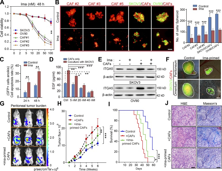 Targeting CAFs in ascites disrupts MUs and attenuates OC dissemination. (A) Cell viability analysis of the OC tumor cells and of primary CAFs (#1–3) exposed for 48 h to varying doses of imatinib (ima; 0–100 nM). (B) Representative images and quantification of spheroid formation by primary CAFs (#2, 3, and 5) or in suspended coculture with GFP-transfected tumor cells, in the presence or absence of 20 nM imatinib. Bar, 50 µm. (C) Flow cytometry analysis of cellular apoptosis rate for GFP + SKOV3 cells cultured in heterotypic spheroids with CAFs (#2, 5, and 6) for the indicated time, in the presence or absence of 20 nM imatinib. (D) <t>EGF</t> secretion by CAFs (#3, 5, and 8) cocultured or not with SKOV3 cells, in the presence or absence of varying doses of imatinib, was assessed by <t>ELISA.</t> (E) Immunoblot of ITGA5 in control SKOV3 and OV90 cells, or after heterotypic coculture with CAFs (#5 and 8), in the presence or absence of 20 nM imatinib. (F) Representative images of peritoneal sphere adhesion 1 wk after coimplantation of SKOV3 cells with ima-primed CAFs (#3, 7, and 8) or untreated controls. Bar, 50 µm. (G–I) Representative bioluminescence images (G), tumor growth curves (H), and survival curves (I) in SKOV3-Luc tumor-bearing mice coimplanted with imatinib-primed CAFs (#7 and 8) or untreated controls ( n = 10 mice per group). (J) H E and Masson's trichrome staining of tumors from mice implanted with SKOV3-Luc cells only or coimplanted with ima-primed or untreated CAFs. Bars, 50 µm (left) and 100 µm (right). Data are means ± SEM and representative of four (A–C), two (D, E, and G–J) or three (F) independent experiments. *, P