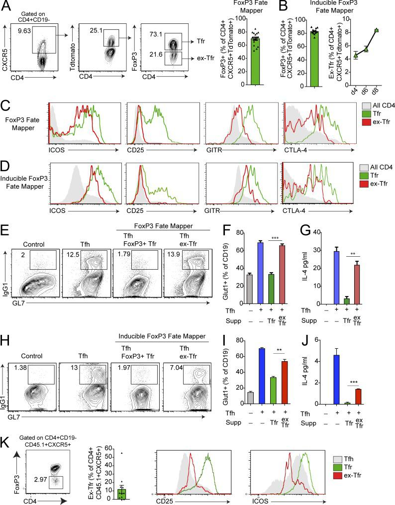 FoxP3 instability in Tfr cells results in loss of suppressive function. (A) Identification of Tfr cells that down-regulate the transcription factor FoxP3. Gating strategy of ex-Tfr cells by flow cytometry from Foxp3 Cre Rosa26 Lox-stop-Lox-TdTomato (FoxP3 fate mapper) mice immunized with NP-OVA 7 d previously (left). Quantification of FoxP3 + cells as a frequency of CD4 + CXCR5 + TdTomato + cells (right). (B) Quantification of FoxP3 + cells as a frequency of CD4 + CXCR5 + TdTomato + cells from Foxp3 ERT2- Cre Rosa26 Lox-stop-Lox-TdTomato (inducible FoxP3 fate mapper) mice immunized with NP-OVA and injected with tamoxifen 7 d previously. (C) Expression of ICOS, CD25, GITR, and CTLA-4 on all CD4 + T cells, Tfr cells, or ex-Tfr cells from FoxP3 fate mapper mice as in A. (D) Expression of ICOS, CD25, GITR, and CTLA-4 on all CD4 + T cells, Tfr cells, or ex-Tfr cells from inducible FoxP3 fate mapper mice as in B. (E) Ex-Tfr cells fail to suppress Tfh-mediated B cell responses. In vitro suppression assay in which B and Tfh cells from WT mice were cultured with or without Tfr or ex-Tfr cells sorted from FoxP3 fate mapper mice as in A in the presence of anti-CD3/IgM for 6 d. IgG1 + GL7 + class-switched B cells are gated. Plots are pregated on CD19 + IA + CD4 − cells. (F) Quantification of Glut1 expression on B cells from suppression assays (Supp) as in E. (G) Quantification of IL-4 levels in culture supernatants from suppression assays as in E. (H) In vitro suppression assay in which B and Tfh cells from WT mice were cultured with or without Tfr or ex-Tfr cells sorted from inducible FoxP3 fate mapper mice as in B in the presence of anti-CD3/IgM for 6 d. IgG1 + GL7 + class-switched B cells are gated. Plots are pregated on CD19 + IA + CD4 − cells. (I) Quantification of Glut1 expression on B cells from suppression assays as in H. (J) Quantification of IL-4 levels in culture supernatants from suppression assays as in H. (K) Analysis of ex-Tfr cells after adoptive transfer of CD4