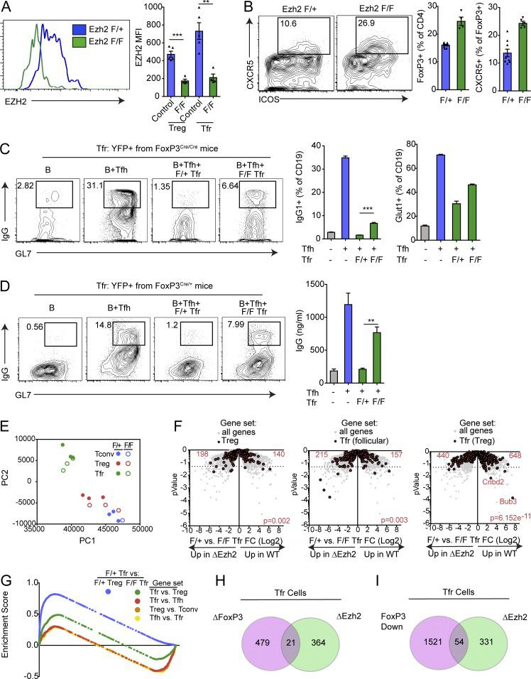 Ezh2 is required for Tfr suppressive function and transcriptional program. (A) Conditional deletion of Ezh2 on T reg cells. Ezh2 f/f FoxP3 Cre/Cre or control ( Ezh2 f/+ FoxP3 Cre/Cre ) mice were immunized with NP-OVA, and 7 d later, T reg and Tfr cells were analyzed for expression of Ezh2 by flow cytometry. Representative gating (left) and quantification (right) are shown. MFI, mean fluorescence intensity. (B) Loss of Ezh2 results in increased Tfr cell percentages. Mice as in A were analyzed for Tfr cells. Representative gating (left) and quantification (middle, right) are shown. (C) Ezh2-deficient Tfr cells are less suppressive. In vitro suppression assay in which B and Tfh cells were cultured alone or along with Ezh2-sufficient or -deficient cells sorted as in B. IgG1 + GL7 + class-switched B cells gating (left), IgG1 + GL7 + class switched B cell quantification (middle), and quantification of Glut1 expression on B cells (right) are shown. (D) Ezh2 deficiency leads to a cell-intrinsic loss of Tfr cell suppressive function. Tfr cells from Ezh2 f/f FoxP3 Cre/+ or Ezh2 f/+ FoxP3 Cre/+ mice (sorted based on Cre-YFP) were used for suppression assays as in C. Representative flow cytometry of IgG1 + GL7 + class-switched B cells (left) and IgG secretion (right) are shown. (E) Loss of Ezh2 results in loss of the Tfr cell transcriptional program. PCA of RNA-seq transcriptional data from Ezh2-deficient ( Ezh2 f/f FoxP3 Cre ) or Ezh2-sufficient ( Ezh2 f/+ FoxP3 Cre ) Tfr and T reg cells sorted as in B. (F) Volcano plots showing control or Ezh2-deficient Tfr cell RNA-seq data with total T reg genes (T reg versus T conv; left), Tfr (follicular) genes (Tfr versus Tfh; middle), and Tfr (T reg) genes (Tfr versus T reg; right; from Fig. 1 ; in red) compared with all genes (gray). P value was calculated using a χ 2 test. (G) Enrichment score traces from GSEA analysis comparing Ezh2 F/+ Tfr cells versus F/+ T reg or F/F Tfr cells using indicated gene sets (generated from data in Fig.