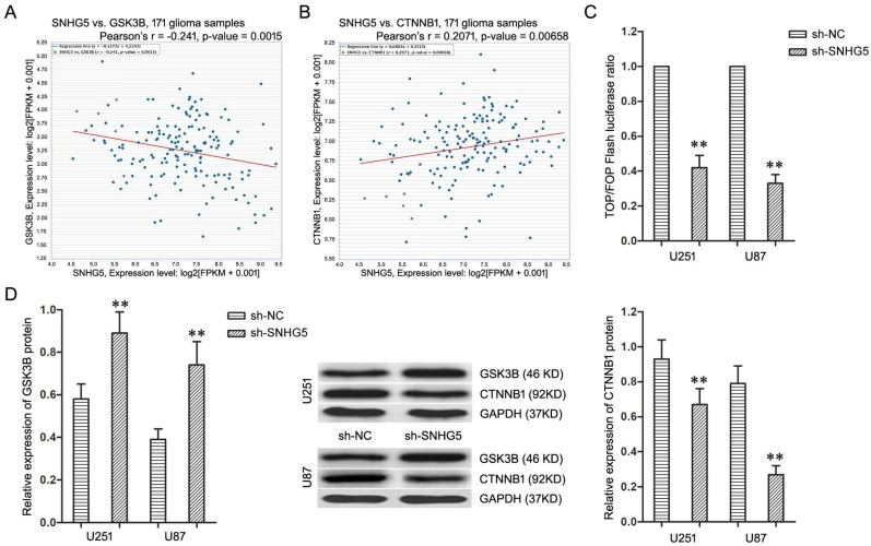 Knockdown of SNHG5 inactivated Wnt/CTNNB1 signaling pathway. A: The co-expression patterns between SNHG5 and GSK3B in TCGA Pan-Cancer (PANCAN) database with 171 glioma samples. B: The co-expression patterns between SNHG5 and CTNNB1 in TCGA Pan-Cancer (PANCAN) database with 171 glioma samples. C: The ratio of TOP/FOP luciferase values in U251 and U87 cells. D : The expression of GSK3B and CTNNB1 protein in U251 and U87 cells. ** P