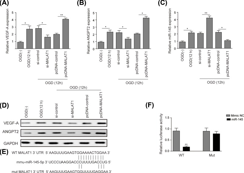 LncRNA-MALAT1 up-regulated VEGF-A and ANGPT2 via targetting miR-145 ( A ) qRT-PCR analysis was performed to measure relative expression level of VEGF-A in BMECs. ( B ) qRT-PCR analysis was performed to measure relative expression level of ANGPT2 in BMECs. ( C ) qRT-PCR analysis was used to measure the effects of MALAT1 on the expression level of miR-145 in BMECs. ( D ) Western blot analysis was performed to measure protein levels of VEGF-A and ANGPT2, GAPDH was used as an internal control. ( E ) Conservation of MALAT1 at the binding site of miR-145 was snapshot, 5 nts on 3′-UTR of MALAT1 were replaced in constructed MALAT1 mutant. ( F ) Dual-luciferase reporter assay was used to measure relative luciferase activity. BMECs were treated under OGD conditions for 12 h, grouping as OGD(−), OGD(12 h), si-control, si-MALAT1, pcDNA-control, and pcDNA-MALAT1. Data represent means ± S.D. based on three independent experiments; * P