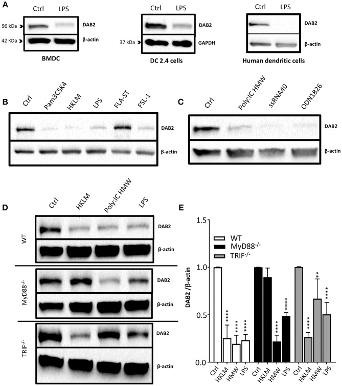 DAB2 is downregulated in human and murine dendritic cells after Toll-like receptor activation through MyD88 and TRIF pathways. (A) Bone-marrow derived dendritic cells (BMDC) differentiated from C57BL/6J mice, DC2.4 cells, and human monocytes-derived dendritic cells were incubated with 100 ng/mL <t>LPS,</t> and DAB2 expression was quantified using western blotting . (B) DAB2 expression in <t>BMDCs</t> treated with agonist for extracellular TLR or (C) agonist for intracellular TLR. (D,E) DAB2 expression after treatment with HKLM, HMW, or LPS in BMDC differentiated from WT, MyD88 −/− , and or TRIF −/− C57BL/6 mice. Bar graphs represent mean values of three independent experiments combined ( n = 3 mice, ** p