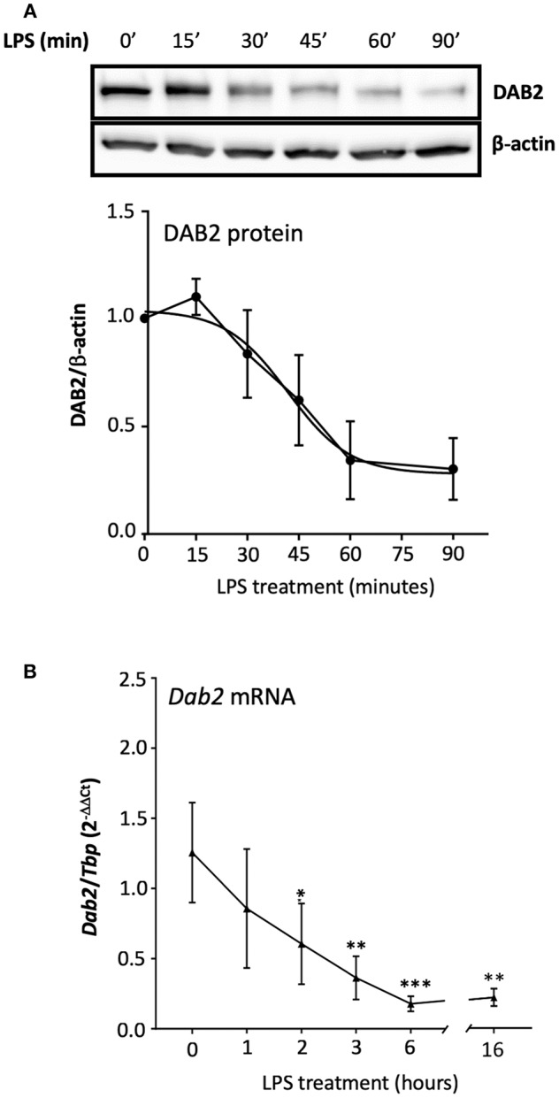 TLR4 activation represses both DAB2 protein and gene expression with different dynamics. (A) BMDCs were incubated with 100 ng/mL LPS for up to 90 min and DAB2 protein expression was evaluated by Western blotting. (B) Dab2 mRNA expression was evaluated after incubation with 100 ng/mL LPS for up to 16 h. Dab2 and Tbp (as an internal control) gene expression was quantified using qRT-PCR. * p