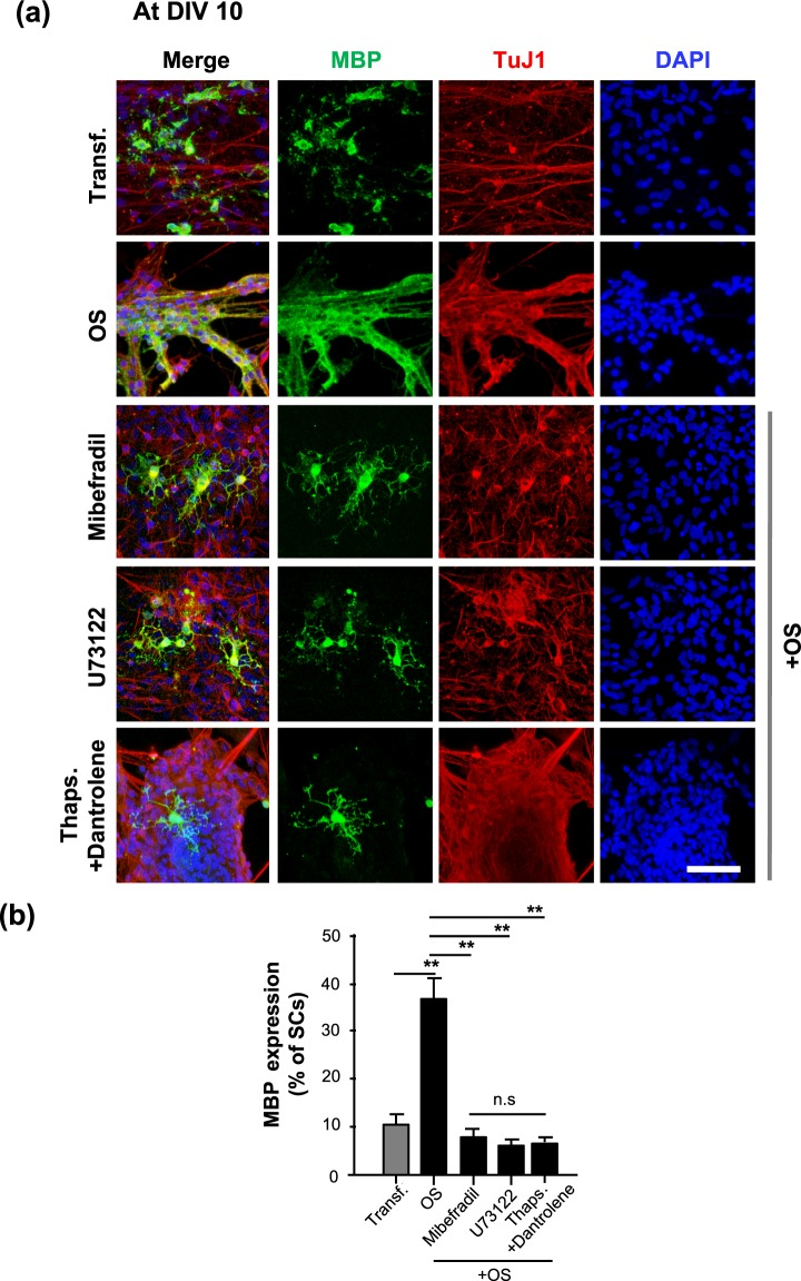 Inhibition of MBP expression in optogenetic-mediated SCs with Ca 2+ blocker treatment. Transfected SC-MN cocultures were treated with mibefradil, U73122, Thaps. + dantrolene, or no addition at DIV 5, and the concentration of each reagent was maintained throughout the culture until fixation for analysis. The LED irradiator was applied to coculture samples at DIV 7, which were then stimulated for 3 days. ( a ) Representative confocal images of SC-MN coculture stained with MBP, TuJ1, and DAPI at DIV 10 and ( b ) quantification of MBP + -SCs are shown. MBP expression was substantially enhanced with OS and, interestingly, the level of MBP protein was inhibited by mibefradil, U73122, or Thaps. + dantrolene. Graph shows means ± SEM from three independent experiments (ANOVA and unpaired two-tailed- t test with Welch's correction). Scale bar, 50 µm. ** p = 3.98 × 10 −3 (Transf.); ** p = 3.80 × 10 −3 (mibefradil); ** p = 7.02 × 10 −3 (U73122); ** p = 7.033 × 10 −3 (dantrolene); ** p = 7.02 × 10 −3 (U73122).
