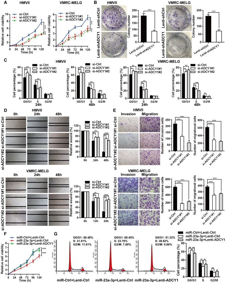 ADCY1 knockdown phenocopies the effects of miR-23a-3p overexpression in vitro . (A) HMVII and VMRC-MELG cells were transfected with two ADCY1 siRNAs, and cell viability was measured using the CellTiter-Glo assay. (B) Photos of colony formation of HMVII and VMRC-MELG cells infected with ADCY1-specific shRNA (Lenti-shADCY1) or control construct (Lenti-shCtrl). Data are presented as the mean ± SD (n = 3). (C) HMVII and VMRC-MELG cells were stained with PI at 24 and 48 h after transfection with ADCY1 siRNAs, and cell cycle distribution was analyzed by flow cytometry. (D-E) Migration and invasion abilities of HMVII and VMRC-MELG cells transfected with two ADCY1-specific siRNAs were assessed using wound-healing (D) and Transwell (E) assays. (F-G) HMVII cells stably transfected with ADCY1-expression plasmid were transfected with miR-23a-3p mimics or miR-Ctrl, and cell viability was analyzed by CellTiter-Glo assay (F) and cell cycle distribution (G) was analyzed by flow cytometry. * P