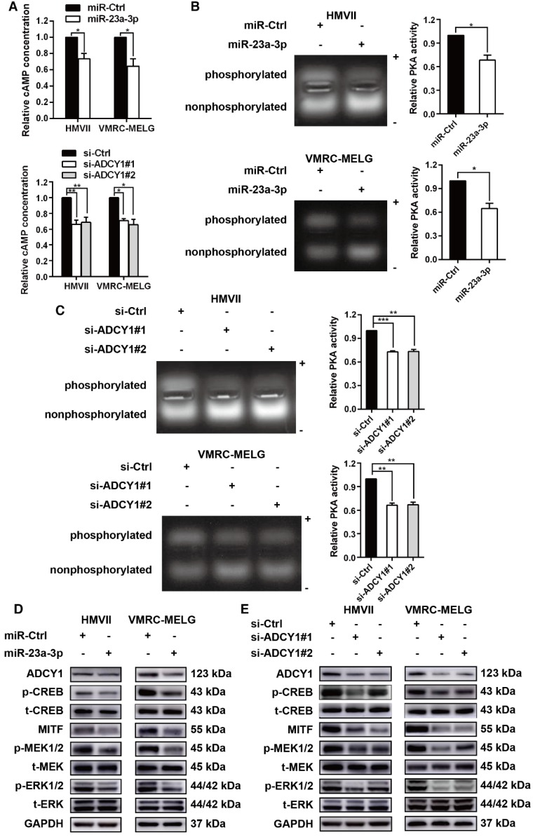 miR-23a-3p inhibits the cAMP and MAPK pathways in mucosal melanoma through ADCY1. HMVII and VMRC-MELG cells were transfected with miR-23a-3p mimics or two ADCY1-specific siRNAs and their corresponding controls as described. (A) Intracellular cAMP content was measured using the Cyclic AMP XP Chemiluminescent Assay and was normalized to the level in control-treated cells. (B-C) PKA activity was detected using a PepTag assay. Representative photographs are shown and PKA activities were normalized to those in control-treated cells. (D-E) Immunoblot analysis of the phosphorylation and expression of cAMP and MAPK pathway-associated downstream factors 48 h after treatment with miR-23a-3p mimic (D) or ADCY1 siRNAs (E). GAPDH served as a loading control.