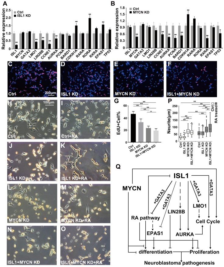 ISL1 and MYCN act in parallel to regulate common yet distinct oncogenic pathways in neuroblastoma. (A, B) Relative mRNA expression of ISL1, MYCN, GATA3 and selected ISL1 or MYCN downstream genes in ISL1 KD and MYCN KD SK-N-BE(2) neuroblastoma cells. Error bars represent ±SD; n=3; *p