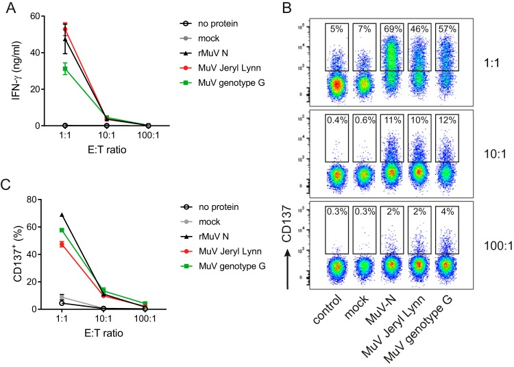 The CD4 + T cell clone is specific for MuV. MuTER.1 T cells were cocultured at a 1:1, 10:1, or 100:1 effector/target (E:T) ratio, as indicated, with autologous BLCL that were pulsed with no protein, mock, recombinant N, live MuV JL, or genotype G. After 20 h, T cell responses were analyzed by measuring the levels of secreted IFN-γ in the supernatant (A) or by staining for the activation marker CD137 (B and C). Data shown are from three individual experiments, with means ± the standard deviations (SD), and flow cytometry data are from one representative experiment (C). The T cell response, measured by IFN-γ secretion or CD137 expression (A and B), was significantly higher after stimulation with recombinant N, live MuV JL, or genotype G compared to stimulation with no protein or mock at all effector/target ratios ( P