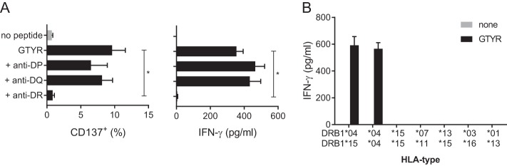 GTYR-specific activation of MuTER.1 is restricted by HLA-DR*04. (A) MuTER.1 cells were stimulated with autologous BLCL pulsed with GTYR peptide in the presence of anti-HLA-DR, anti-HLA-DQ, or anti-HLA-DP blocking antibodies. T cell activation was determined by expression of CD137 and IFN-γ secretion in the supernatant, as indicated. (B) BLCL with various HLA-DRB1 types as indicated were pulsed with GTYR peptide. T cell activation by these peptide-loaded BLCL was measured by IFN-γ secretion in the supernatant. Left bar represents autologous BLCL. T cell response, measured by CD137 expression or IFN-γ secretion (A), was significantly blocked with anti-HLA-DR antibodies ( P