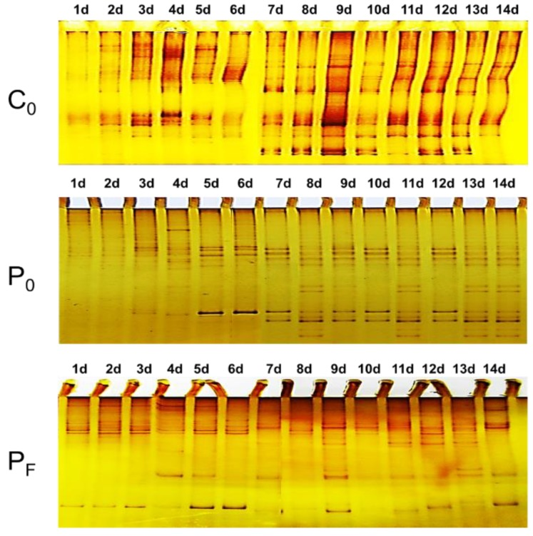 The Single-stranded Conformation Polymorphism (SSCP) patterns of the early biofilm-forming eukaryotic microbial communities developed on the C 0 , P 0 and P F surfaces.