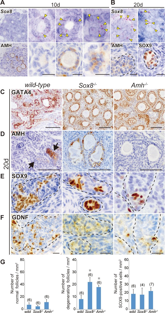 Sox8 expression in AMH-positive and -negative degenerating follicles and masculinized phenotypes of the Sox8 -null and Amh -null ovaries transplanted into male host mice. (A, B) In situ hybridization using a Sox8 antisense probe and anti-AMH immunostaining of two serial ovarian tissue sections grafted into XY-host on days 10 (A; The most left panels are lower and the others are higher magnified images) and 20 (B) post-transplantation. Sox8 -positive signals (yellow arrowheads) were detected in the granulosa cells of AMH-negative and -positive degenerating follicles on day 10 post-transplantation, as well as in tubular structures, including SOX9-positive Sertoli-like cells on day 20 post-transplantation. (C–F) Anti-GATA4, AMH, SOX9, or GDNF immunostaining of wild-type, Sox8 -null ( Sox8 -/- ), or Amh -null ( Amh -/- ) ovarian tissues grafted into XY-host on day 20 post-transplantation. The gonadal area is identified by GATA4 staining (C). Degenerating follicles were frequently seen in either Sox8 -null or Amh -null grafted ovaries even at this stage (C, D). In contrast, the tubular structure formation (arrows or broken outlines) and ectopic appearance of SOX9-positive Sertoli-like cells in GDNF-positive tubular structures are found in all three types of grafted ovaries (E, F). (G) Bar graphs indicate the relative numbers of normal healthy follicles (left), degenerating follicles (center), and SOX9-positive cells (right) per gonadal area (mm 2 ) in wild-type, Sox8 -null, or Amh -null grafts in male host mice. The Sox8 -null or Amh -null ovarian explants exhibited a large number of degenerating follicles even on day 20 post-transplantation, but no changes in the number of SOX9-positive cells were detected among the three genotypes. The data are expressed as means ± SEM (*p