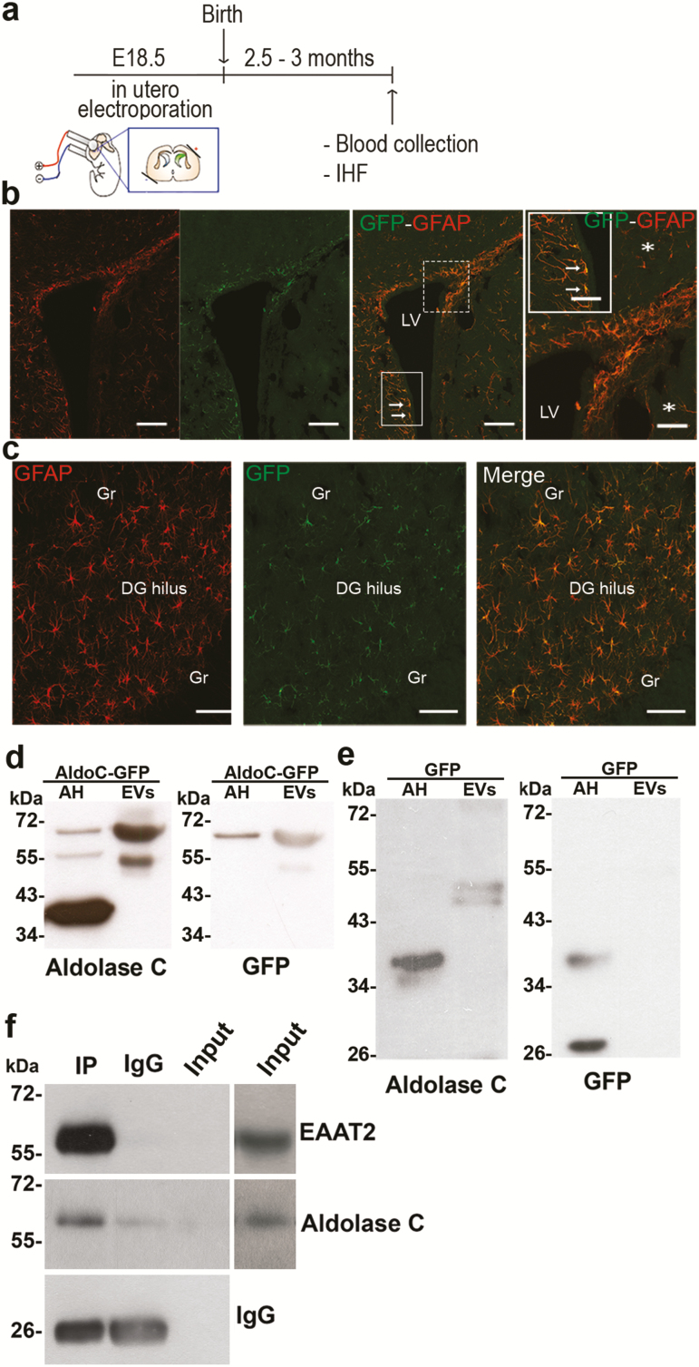 Aldolase C tagged with green fluorescent protein (C-GFP) expressed in forebrain astrocytes is detected in extracellular vesicles (EVs) isolated from the blood. (a) Scheme of the in utero electroporation. Forebrain astrocytes were transduced by in utero electroporation with aldolase C-GFP or GFP. Plasmids were injected into the left lateral ventricle on embryonic day 18.5. The orientation of the electrodes used to apply the voltage pulse is shown. (b) Immunohistofluorescent detection of glial fibrillary acid protein (GFAP) and GFP in coronal brain slices indicated that cells positive for both proteins were detected in the borders of the lateral ventricles (LV, indicated by arrows), and (c) in the hilus of the dentate gyrus (DG). Gr, granule cells. (d) Aldolase C (left) or GFP (right) was detected in astrocyte homogenates (AH) electroporated with aldolase C-GFP or in sEVs isolated from the serum of these animals. Note that in the sEVs, the modified form of aldolase C was detected (~ 55 kDa), as well as the recombinant protein (~ 70 kDa), which was also visible with the GFP antibody. (e) Aldolase C (left) or GFP (right) was detected in the astrocyte homogenates (AH) that were electroporated with GFP or in extracellular vesicles (sEVs) isolated from the serum of these animals. Note that in sEVs, the modified form of aldolase C was detected (~ 55 kDa), while in these animals, no GFP could be detected in the EVs. Observations were conducted in n = 5 independent animal groups (n = 4 rats per group for blood collection). (f) EVs bearing the glial glutamate transporter EAAT2 in their membrane are enriched in aldolase C. EVs were immunoisolated in nondenaturating conditions with an antibody directed against an extracellular epitope of EAAT2. The input lane was loaded with 8% of the EVs used for the precipitation procedure (i.e., 20 µg). Note that EAAT2 can only be detected in the input after overexposure of the same blot (right lanes), revealing a huge enrichment of EAAT2-bea