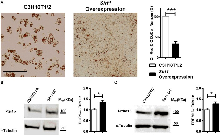 The effect of Sirt1 over-expression on adipogenesis in C3HT101/2 cells (A) . Oil-red-o staining in Sirt1 over-expressing ( OE ) and C3H10T1/2 cells induced to adipogenesis. Data is presented as optical density (OD) corrected for cell number (crystal violet staining). Scale bar 500μm. (B,C) Immunoblot of Pgc1α and Prdm16 in Sirt1 OE and C3H10T1/2 cells 7 days post induction to adipogenesis. Results are Mean ± SEM. * P