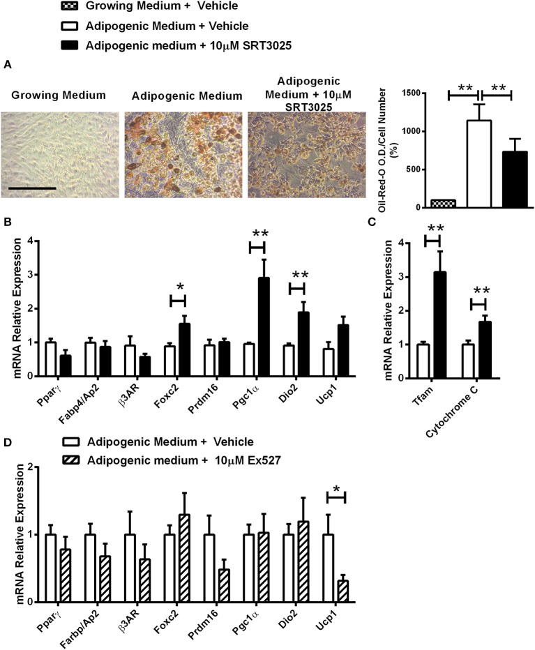 The effects of Sirt1 pharmacologic activation and inhibition on adipogenic markers in C3HT101/2 cells (A) . Oil-red-o staining in <t>C3H10T1/2</t> cells induced to adipogenesis and supplemented with SRT3025 or vehicle (DMSO). (B,C) Gene expression analysis of adipocyte (B) and mitochondrial markers (C) induced to adipogenesis and supplemented with SRT3025 or vehicle (DMSO). (D) Gene expression analysis of adipocyte markers induced to adipogenesis and supplemented with Ex527 or vehicle (DMSO). Results are Mean ± SEM. * P