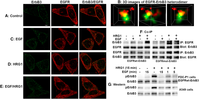 Effect of HRG1 and EGFR ligands on EGFR-ErbB3 heterodimer: (A-E) Imaging analysis of EGFR-ErbB3 heterodimer: Cells were seeded on glass-bottom culture dishes. EGF, HRG1, and HRG1 plus EGF at 20 ng/ml were added to cells for 15 minutes. Cells were immunofluorescence stained. STORM imaging was performed with an N-STORM system built on a Nikon-Ti-E inverted microscope with an HP Apo 100× TIRF objective having a numerical aperture of 1.49. Images demonstrate preexisting EGFR-ErbB3 heterodimers. EGF treatment induced ErbB3 internalization, and HRG1 treatment induced EGFR internalization, respectively. (B) 3D STORM images of EGFR-ErbB3 heterodimer were reconstructed using Nikon NIS Elements image analysis software to reflect the level of protein colocalization. Photos of an EGFR-ErbB3 heterodimer were taken from three different directions. The green color represents ErbB3, and the red color represents EGFR. (F) Co-immunoprecipitation: Cells at 50% confluence were serum starved for 24 hours. The EGFR-ErbB3–expressing FDC-P1 cells were untreated or treated with EGF, HRG1, and EGF plus HRG1 at 20 ng/ml for 15 minutes. The cells were lysed in NP-40 buffer with phosphotase inhibitors. EGFR and ErbB3 were immunoprecipitated and subjected to SDS-PAGE. The membranes were probed with anti-ErbB3 or anti-EGFR antibody. (G) Western blot: Cells were serum starved for 24 hours and were untreated or treated with different ligands for 15 minutes except the last two columns where cells were first treated with HRG1 for 14 or 10 minutes and then treated with EGF for 1 or 5 minutes, respectively (total 15 minutes). Cells lyses were subjected to SDS-PAGE. Membranes were probed antiphosphorylated ErbB3, stripped, and reprobed with anti-ErbB3 antibody as loading contro,l respectively. The data are representative of three independent experiments.