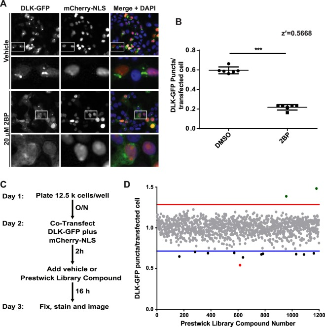 A High Content Imaging screen identifies ketoconazole as the most potent compound to inhibit DLK-GFP puncta formation. ( A ) HEK293T cells cotransfected with DLK-GFP plus mCherry-NLS were treated with 2BP or vehicle and fixed to detect GFP, mCherry and the nuclear marker DAPI. 2BP reduces DLK-GFP puncta without affecting mCherry-NLS expression or DAPI signal. Scale bar: 25 µm. ( B ) HEK293T cells were seeded into 12 wells of a 96-well plate and transfected with DLK-GFP and NLS-mCh cDNA and then treated with 2BP (20 μM in DMSO) or 0.1% (v/v) DMSO vehicle as in A . Cells were fixed and imaged using an ImageXpress High Content Imaging system to detect GFP and NLS-mCh signals. Assay quality was determined by calculating the z-prime (z′) for 6 determinations per condition (z′ = S/R, S = [(Mean of Vehicle treated – 3xSD)-(Mean of 2BP – 3xSD)], R = Vehicle Mean – 2BP mean). ( C ) Design of the high-throughput screen for compounds that inhibit DLK-GFP punctate localization. ( D ) The effect of 1200 compounds from the Prestwick Chemical Library™ on DLK puncta per transfected cell (mean of 2 determinations per compound) was calculated using ImageXpress Image Analysis 'TransFluor' and Multi-Wavelength Scoring (MWS) modules. Compounds that decreased the number of transfected cells (from mCherry-NLS count) or the total number of cells (from DAPI count) by greater than 30%, relative to the mean of vehicle treated controls, are not plotted due to likely cytotoxicity or non-specific effects. Red and blue lines indicate 3 standard deviations (3 SD) above and below the mean of all determinations, respectively. Compounds that decreased DLK puncta per transfected cell below this 3 SD cut-off were considered 'Hits'. The most potent 'hit', ketoconazole, is highlighted in red.
