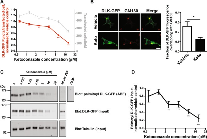 Dose-dependent inhibition of DLK-GFP localization and palmitoylation by ketoconazole. ( A ) Quantified DLK puncta per transfected cell from HEK293T cells transfected as in Fig. 2 and treated with the indicated concentrations of ketoconazole. Data (mean ± SEM) are plotted relative to DMSO vehicle control for 6 fields of view per condition from 8 determinations per condition. ***p