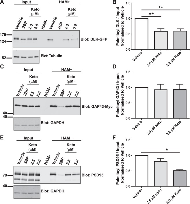 Ketoconazole inhibits palmitoylation of DLK and PSD-95, but not GAP43. ( A ) HEK293T cells were transfected with DLK-GFP cDNA and incubated with 20 µM 2BP, or with 2.5 µM or 5 µM ketoconazole 2 h post-transfection for 16–18 h. Upper western blot shows DLK total expression and palmitoyl-DLK levels (from ABE, 'HAM+') for each condition. A negative control sample was generated by combining equal fractions of lysates from all conditions, which was then subjected to ABE in the absence of the key reagent hydroxylamine (HAM-). Lower western blot shows tubulin levels, an indication of total protein expression. Molecular weight markers are indicated on each blot. Differing band widths in this panel are likely due to different protein concentrations and/or ionic strength of total lysates versus ABE fractions. ( B ) Histogram of pooled data (mean ± SEM) for 4 determinations per condition from A . Ketoconazole and 2BP both significantly reduce DLK palmitoylation. Some data from this panel are re-plotted as part of Fig. 3D . ( C ) As A , except that cells were transfected with GAP43-Myc cDNA ABE fractions were blotted with anti-Myc antibody and cell lysates were blotted to detect total expression of GAP43-myc (upper panel) and GAPDH (lower panel). ( D ) Histogram of pooled data (mean ± SEM) for 7 determinations per condition from C . Ketoconazole does not reduce GAP43 palmitoylation, but 2BP does. ( E ) As C , except that cells were transfected with PSD-95 cDNA and total lysates and ABE fractions were blotted with anti-PSD-95 antibody. ( F ) Histogram of pooled data (mean ± SEM) for 4 determinations per condition from E . 5 μM ketoconazole and 2BP both reduce PSD-95 palmitoylation. One-way ANOVA, Kruskal-Wallis post-hoc analysis; ( A ) ANOVA p = 0.0009, h = 13.92, ( C ) ANOVA not significant, ( E ) ANOVA p = 0.0158, h = 8.290.
