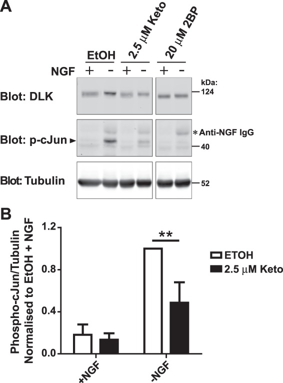 Ketoconazole significantly decreases DLK-mediated phospho-cJun activation in primary neurons. ( A ) Dorsal Root Ganglion (DRG) neurons were treated at 7 Days in vitro (DIV 7) with 2.5 µM Ketoconazole overnight or 20 µM 2BP for 2 h prior to a 2.5 h NGF withdrawal in presence of the indicated compound. Cells were lysed in SDS-PAGE loading buffer and levels of endogenous DLK, phospho-cJun (p-cJun) and tubulin were detected by western blot as indicated. The secondary antibody used on the p-cJun blot also weakly recognizes residual anti-NGF IgG used as part of the trophic factor deprivation (indicated by asterisk). ( B ) Quantification of phospho-cJun normalised to –NGF vehicle-treated cells. Two-way ANOVA indicates significant effects of interaction (p = 0.0071), NGF (p = 0.0026) and Ketoconazole (p = 0.0001). The effect of Ketoconazole in DRGs undergoing NGF withdrawal was also significant as determined by the Bonferroni post-test (p