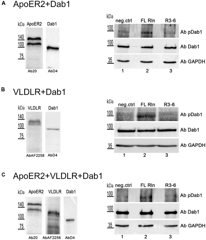 Central fragment of Reelin (R3–6) does not induce Dab1 phosphorylation. HEK293 cells expressing Dab1_myc and ApoER2 (A) or Dab1_myc and VLDLR (B) or Dab1_myc, ApoER2, and VLDLR (C) were kept in Imaging Medium for 30 min. Next, the medium was changed to RCM containing full length Reelin (FL Rln, lanes 2) or R3–6 (lanes 3) was added to the cells (final concentration, 30 nM) or cells were left untreated (neg.ctrl, lanes 1). After 20 min incubation at 37°C, cells were washed and lysed in NP-40 lysis buffer. Lysates were analyzed by western blotting using phospho-Dab1 antibody (Ab pDab1) and GAPDH antibody. Membranes were stripped and subsequently re-probed for the detection of Dab1 (AbD4). ApoER2 was detected by Ab20 and VLDLR by AbAF2258.