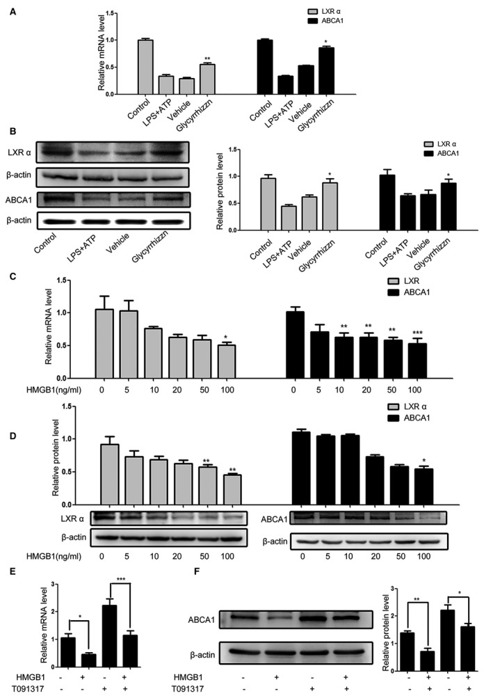 HMGB 1 reduces LXR α and ABCA 1 expression in VSMC s. Following pretreatment with HMGB 1 and/or glycyrrhizin the HMGB 1 inhibitor and LPS / ATP stimulation, the relative levels of LXR α and ABCA 1 expression were determined by qRT ‐ PCR and Western blot. Data are representative images or expressed as the mean± SD of each group from 3 separated experiments (Western blot) or 3 separated experiments with 3 duplicated wells ( qRT ‐ PCR ). A and B, inhibition of HMGB 1 mitigated the LPS / ATP ‐reduced LXR α and ABCA 1 expression. C and D, HMGB 1 reduces the levels of LXR α and ABCA 1 expression in a dose‐dependent manner. E and F, Treatment with T091317 mitigated the HMGB 1‐reduced ABCA 1 expression. * P