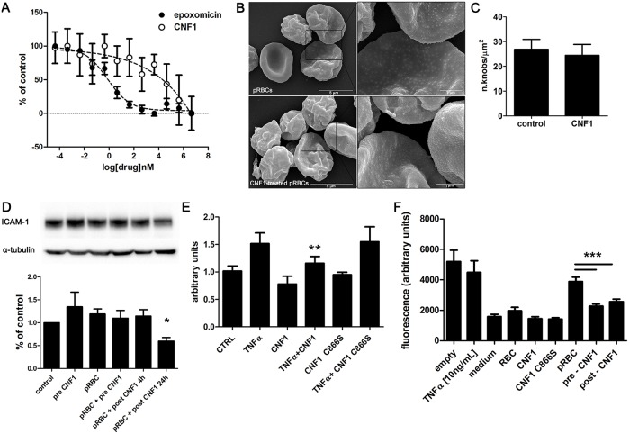 CNF1 affects the cytoadherence of pRBCs by acting on endothelial cells. (A) Dose response experiments for CNF1 effect on P . falciparum viability, assessed by pLDH enzymatic assay. P . falciparum asexual stages were treated with increasing concentrations of CNF1 and epoxomicin as reference drug. Data represent mean ± SEM from at least three experiments. (B) Scanning electron micrographs of pRBCs, untreated (upper panels) and treated with CNF1 (lower panels). Note the production, on the surface of infected erythrocytes, of regularly structured knobs that are not modified (higher magnification, right panels) by the challenge with CNF1. (C) Statistical analysis shows no differences in density of knobs per unit area (knobs/μm 2 ) between CNF1-treated or untreated mature trophozoites (P = 0.89; n = 10). (D) CNF1 was added to HBEC-5i cells either overnight before the adhesion process (pre CNF1) or after the adhesion assay of pRBCs, for 4 or 24 h (post CNF1). Cells were lysed and processed for western blot analysis. The <t>ICAM-1</t> immunoblot showing a representative experiment (upper panel) was normalized as a function of α-tubulin (lower panel) and expressed as arbitrary units (histogram). Note that CNF1 is able to down-regulate ICAM-1 only at 24 h of treatment. Data, expressed as percentage of control (= 1), represent mean ± SEM from at least three independent experiments. * p