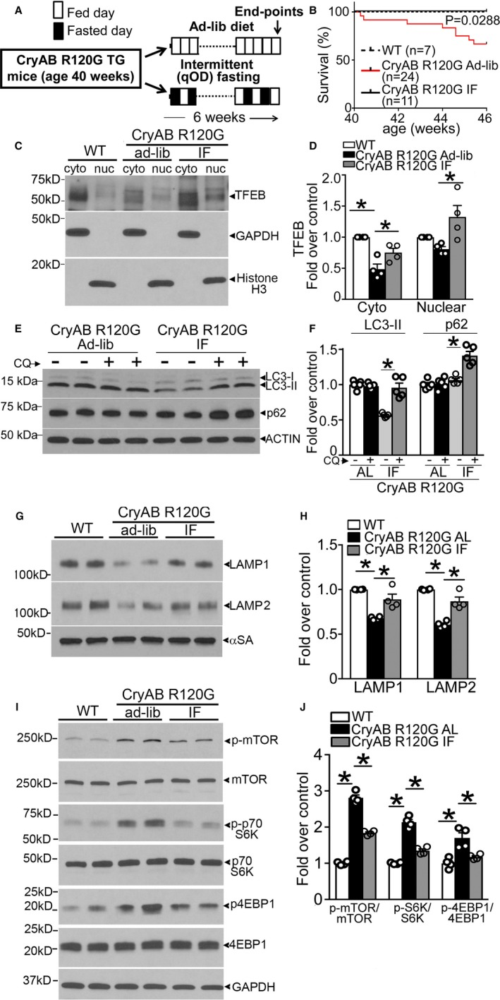 Intermittent fasting (IF) activates transcription factor EB ( TFEB) and restores autophagic flux in αB‐crystallin R120G mutant transgenic mice. A , Schematic depicting experimental intervention with IF in Myh6 ‐Cry ABR 120G transgenic mice. B , Survival curves in IF and ad‐lib (AL) fed Myh6 ‐Cry ABR 120G transgenic mice and AL fed controls over the 6‐week experimental duration. P value depicted is by log‐rank test. C and D , Representative immunoblots ( C ) demonstrating expression of TFEB with quantitation ( D ) in the cytosolic and nuclear fractions from hearts of mice treated as in A (at 46 weeks) and subjected to biochemical fractionation. Expression of GAPDH and histone H3 is used to detect enrichment of cytosolic and nuclear proteins, respectively. N=4/group. E , Assessment of autophagic flux in mice Myh6 ‐Cry ABR 120G transgenic mice subjected to IF or provided access to food AL as in A , and injected with chloroquine (40 mg/kg for 4 hours) or diluent with immunoblotting for LC 3 and p62. F , Quantitation of LC 3‐ II and p62 in cardiac tissue from mice treated as in E . N=4/group. G and H , Representative immunoblot ( G ) with quantitation ( H ) of lysosome proteins LAMP 1 and LAMP 2 in total cardiac protein extracts from Myh6 ‐Cry ABR 120G transgenic mice subjected to IF or AL feeding, or littermate wild type (WT) as in A . N=4/group. I and J , Representative immunoblots ( I ) demonstrating expression of mammalian target of rapamycin ( mTOR ) pathway proteins with quantitation ( J ) of phosphorylated mTOR (p‐ mTOR) , phosphorylated 70S6K (p‐S6K), and phosphorylated 4EBP1 (p‐4 EBP 1) in Myh6 –αB‐crystallin R120G transgenic mice subjected to IF or AL feeding, and WT controls as in A . N=4/group. qOD (every other day). * P value by post hoc test after 1‐way ANOVA.