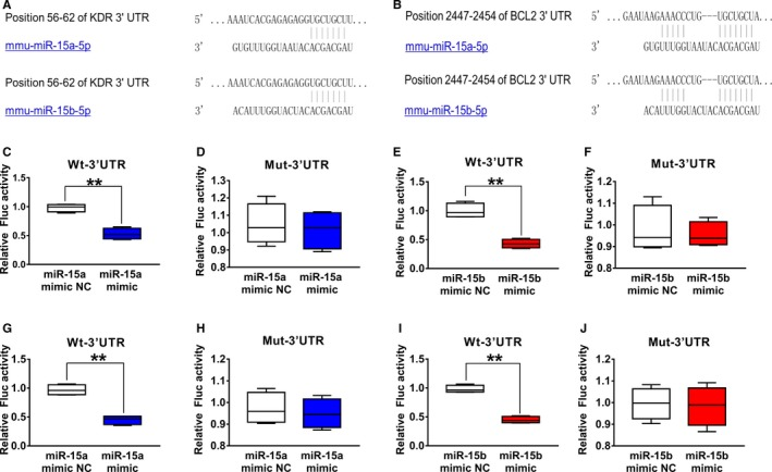 Vascular endothelial growth factor receptor 2 ( VEGFR ‐2) and Bcl‐2 were validated as a target of miR‐15a/15b.  A , The 3′‐untranslated region ( UTR)  of  VEGFR ‐2 harbored a potential targeting site of miR‐15a/15b, which was conserved among mouse by bioinformatics analysis.  C  and  E , Luciferase assay was performed to show that overexpression of miR‐15a/15b in  HEK  293T cells could significantly suppress the luciferase activity of a reporter fused with 3′‐UTR of  VEGFR 2  mRNA .  HEK  293T cells were transfected with a  pMIR ‐ VEGFR 2‐3′‐ UTR  or  pMIR ‐ VEGFR 2‐m3′‐ UTR . Meanwhile, the cells were cotransfected with an miR‐15a/15b mimics or mimics negative control ( NC ). Compared with the mimics  NC , the miR‐15a/15b mimics could reduce luciferase activity containing a wild‐type miR‐15a/15b binding site ( C  and  E ) but not a mutant binding site ( D  and  F ).  B , 3′‐ UTR  of Bcl‐2 harbored a potential targeting site of miR‐15a/15b, which was conserved among mouse by bioinformatics analysis.  G  and  I , Luciferase assay was performed to show that overexpression of miR‐15a/15b in  HEK  293T cells could significantly suppress the luciferase activity of a reporter fused with 3′‐UTR of Bcl‐2  mRNA .  HEK  293T cells were transfected with a  pMIR ‐Bcl‐2‐3′‐ UTR  or  pMIR ‐Bcl‐2‐m3′‐ UTR . Meanwhile, the cells were cotransfected with an miR‐15a/15b mimics or mimics  NC . Compared with the mimics control, the 15a/15b mimics could reduce luciferase activity containing a wild‐type miR‐15a/15b binding site ( G  and  I ) but not a mutant binding site ( H  and  J ). ** P