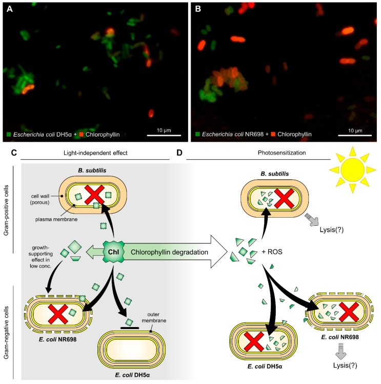 Fluorescence microscopic images of ( A ) Escherichia coli DH5α and ( B ) Escherichia coli NR698 after exposure to chlorophyllin (red fluorescence). Assumed modes of action of chlorophyllin against Gram-positive and Gram-negative bacteria. ( C ) Chlorophyllin (Chl) molecules cannot pass the intact outer membrane of Gram-negative bacteria. ( D ) Chlorophyllin is degraded in light. Degradation products can enter both Gram-negative and Gram-positive cells. The red crosses indicate cell death.