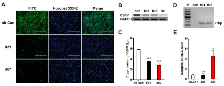 Verification of the antiviral ability of TG PFF clones. ( A ) Virus resistance in identified positive PFF clones #31 and #67 was examined by IFA. sh-Con: scrambled shRNA transgenic PFFs. ( B ) Antiviral ability in positive PFF clones #31 and #67 was further assessed by <t>RT-PCR</t> at 72 h post-infection. ( C ) <t>qPCR</t> results showed the copy number of CSFV virus in positive PFF clones #31 and #67. The values displayed on the Y axis are calculated in lg. All values are the mean ± S.E.M., n = 3. *** p